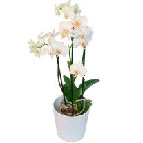 Phalaenopsis in a pot